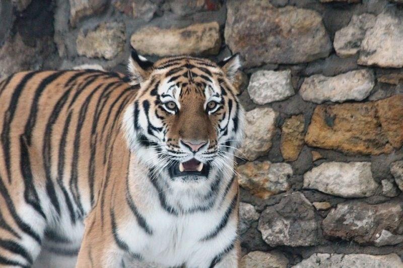70 let po izumrtju tigrov v Kazahstanu zagnali projekt za njihovo ponovno naselitev