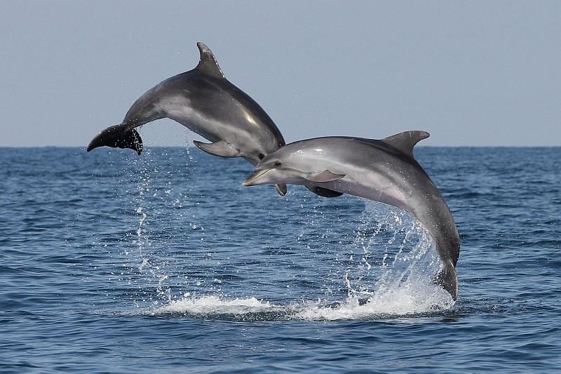 Slovenski raziskovalci odkrili nov način prepoznavanj delfinov