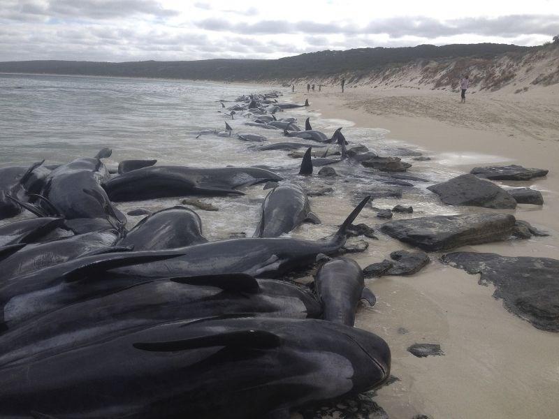 #foto #video 130 poginulih kitov bi lahko na avstralsko obalo privabilo morske pse