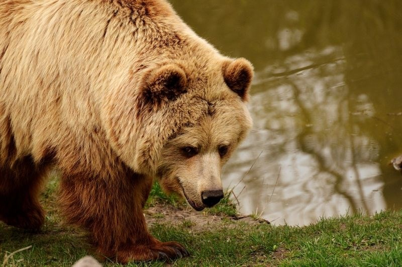 V francoskih Pirenejih kmete razburjajo slovenski medvedi