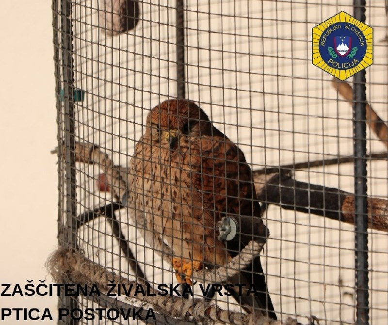 #foto Policisti iz ujetništva rešili zavarovano ptico postovko
