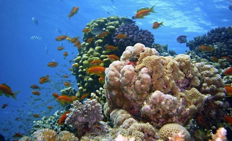 Za obnovo Velikega koralnega grebena ni ostalo skoraj nič več koral