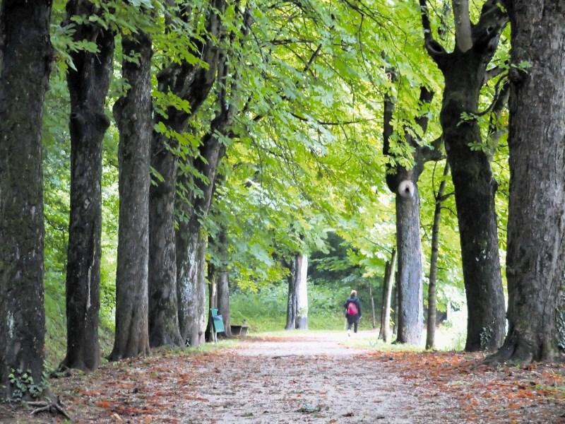 Mnogi stoletni orjaki vitalnejši od mlajših dreves