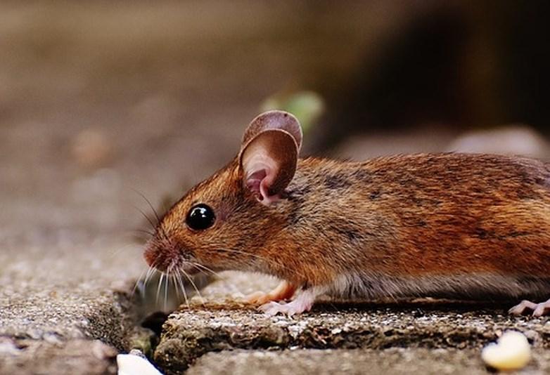 Letos 218 potrjenih primerov mišje mrzlice, največ na jugovzhodu