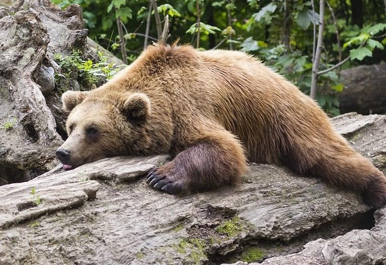 Po rednem postopku bi iz narave odvzeli 175 medvedov in sedem volkov
