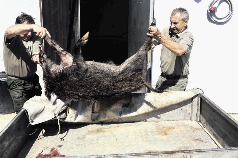 Zloglasni virus afriške prašičje kuge so z okuženim mesom v potovalkah raznesli po Evropi