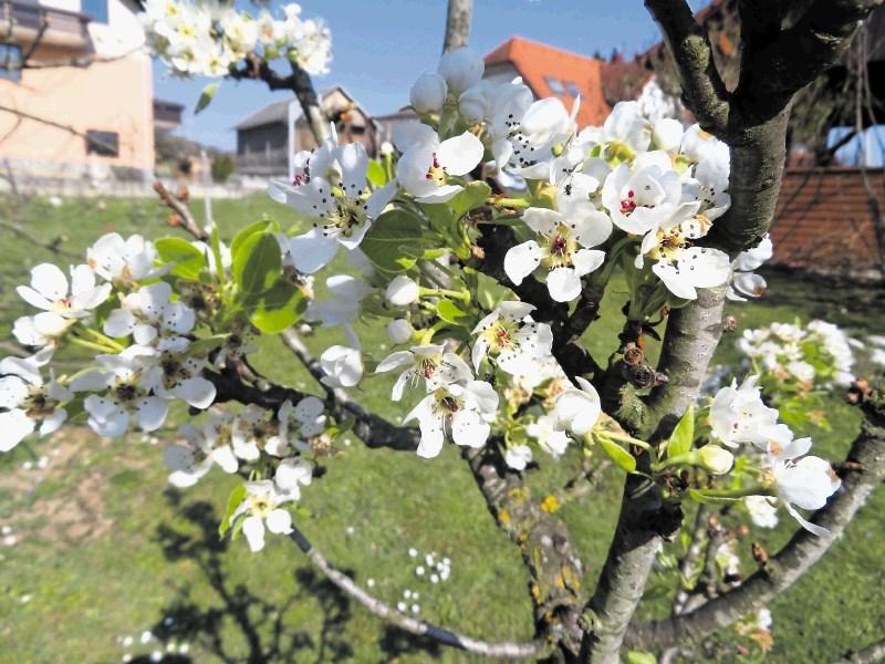 V Posavju skoraj popolna pozeba koščičarjev, pri jablanah poškodovana več kot polovica cvetov