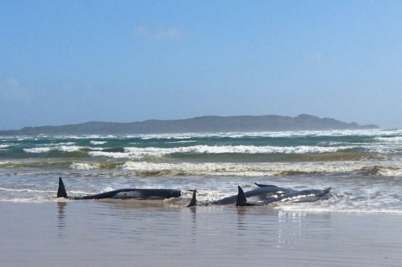 Na Tasmaniji nasedlo več kot 200 kitov