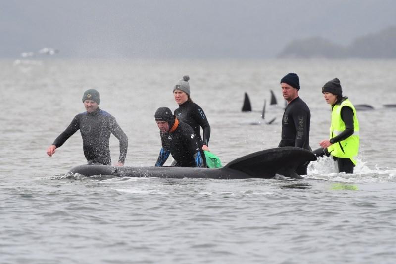 Reševalcem na Tasmaniji uspelo rešiti vsega skupaj 108 kitov